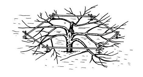 Схема арктической стланцевой кроны низкорослой яблони с подпорками