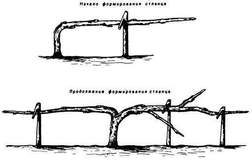 Порядок формирования бахчево-стланцевой кроны яблони в условиях крайнего севера