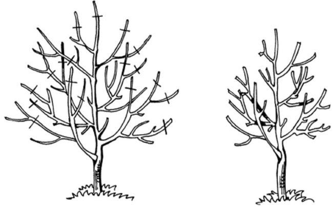 Схема формирования разреженно-ярусной кроны молодой яблони при весенней обрезке