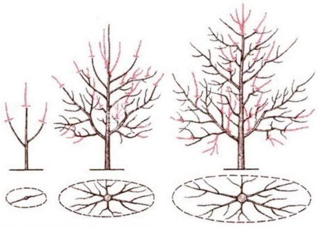 Схема весенней обрезки веток сливы в первые годы жизни растения