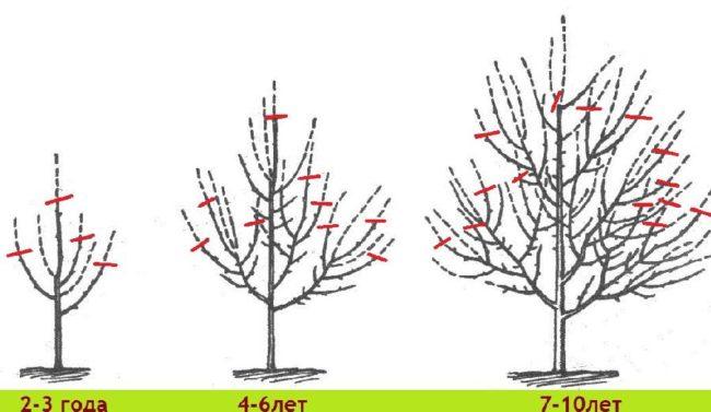 Схема формирования разреженно-ярусной кроны яблони по годам
