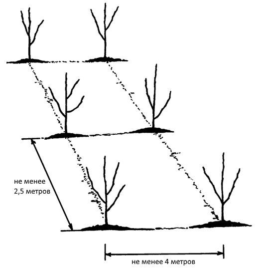 Расстояние между саженцами яблони при посадке деревьев на небольшом участке
