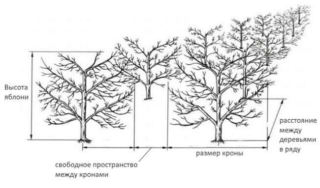 Схема двухрядного плодового сада с учетом свободного пространства между деревьями