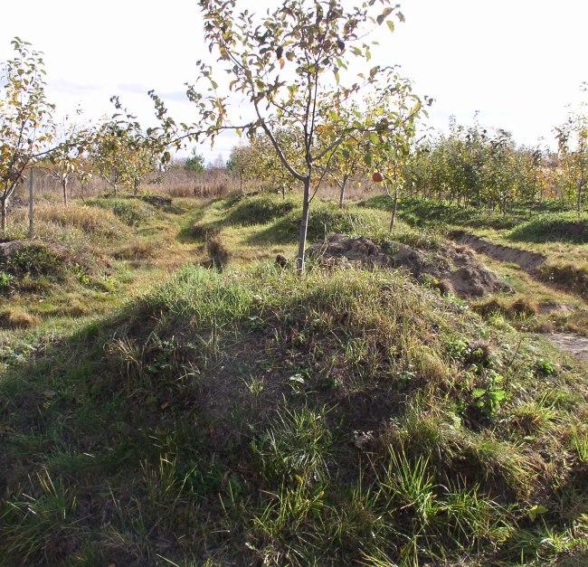 Молодое деревце сливы на насыпанном холмике высотой примерно в полметра