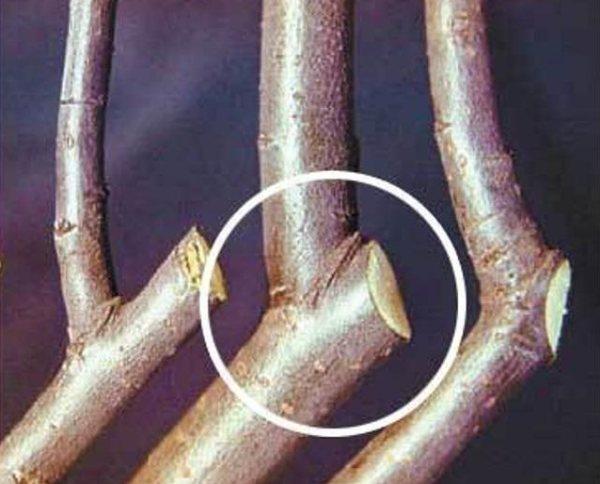 Правильный срез ветки яблони на кольцо и сравнение с неправильными вариантами