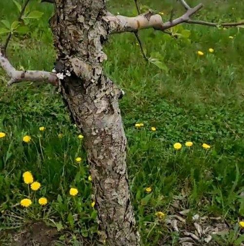 Толстый ствол старой яблони с сухими чешуйками мертвой коры
