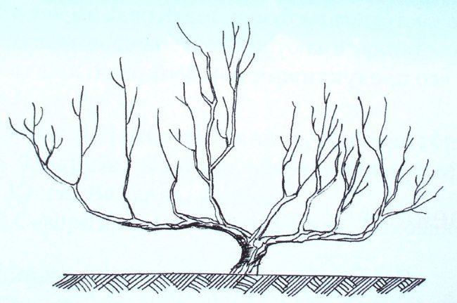 Схема стланцево-кустовидной кроны низкорослой яблони для холодных регионов