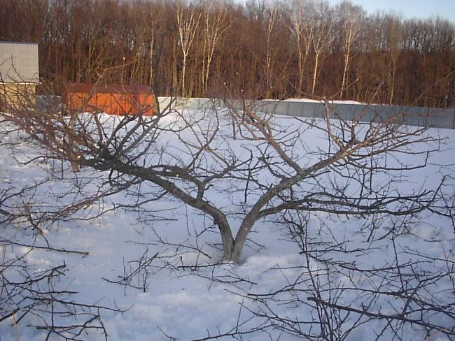 Обрезка кустовидной кроны яблони в конце зимы в условиях Урала