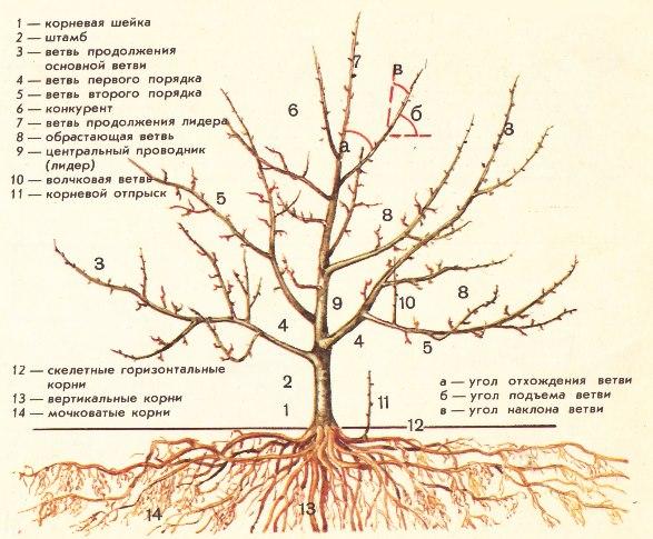Схема устройства кроны и корневой системы яблони