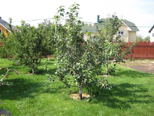 Плодовый сад с яблонями полукарликовых сортов, высаженных с расстоянием в 5–6 метров