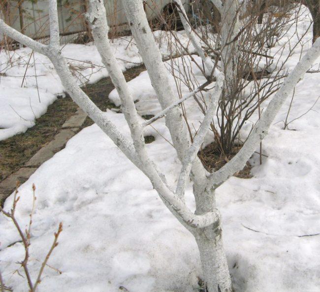Беленые стволы молодой яблони весной в период активного таяния снега