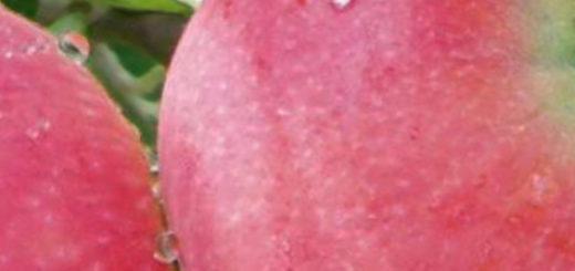 Созревающие плоды яблони сорта Татьяна на ветке с утренней росой на яблоке