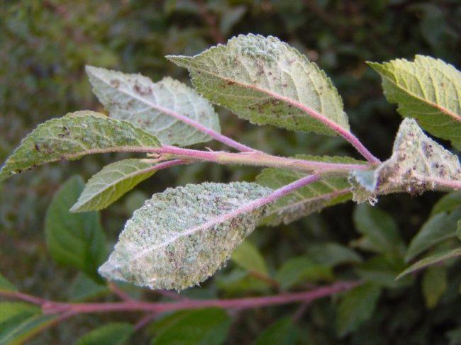 Мелкая тля на молодых листочках сливы после цветения дерева