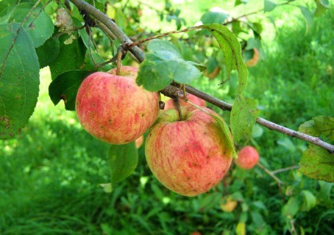 Темные точки на кожице спелых яблок при поражении плодов грибковой инфекцией