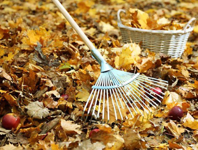 Уборка опавшей листвы в приствольном круге яблони садовым веером