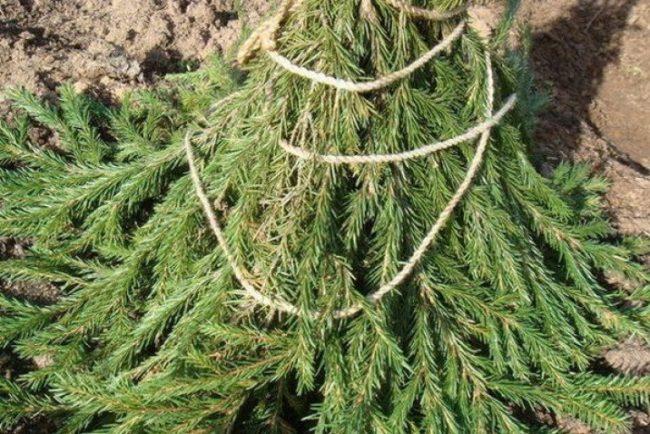 Зимнее укрытие ствола яблони еловым лапником от мышей и зайцев