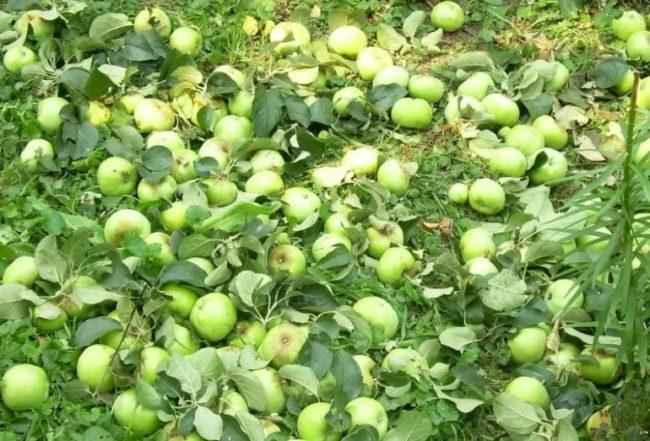 Преждевременно опавшие зеленые яблоки в траве приствольного круга