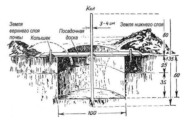Схема посадочной ямы с опорным колом для саженца яблони