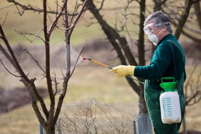 Голубое опрыскивание плодового сада раствором медного купороса ранней весной