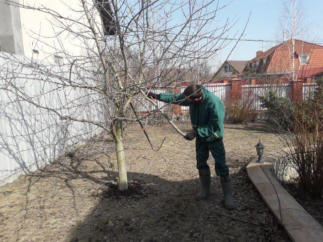 Проведение формирующей обрезки кроны яблони в весенний период