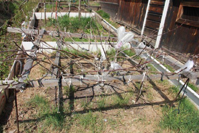 Пример выращивания яблони с кроной сланцевого типа в Западной Сибири