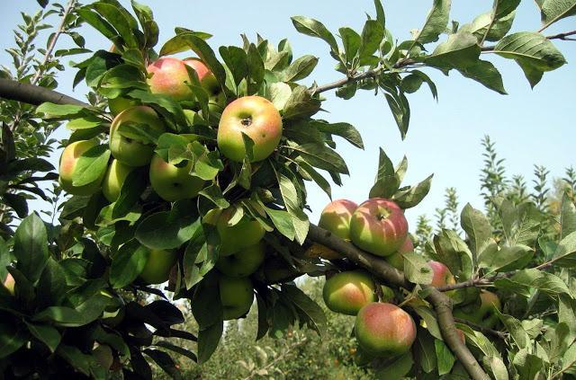 Ветки сортовой яблони с крупными плодами розово-зеленого окраса