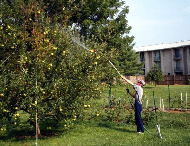 Летняя внекорневая подкормка высокой яблони из садового распылителя