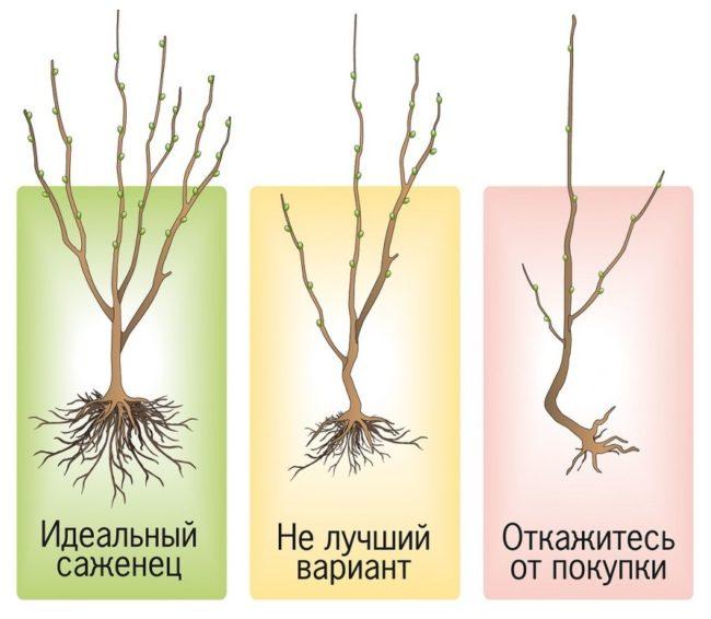 Схема правильного выбора саженца сливы с открытой корневой системой