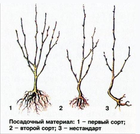 Схема выбора саженцев сливы по сортам в зависимости от состояния корневой системы