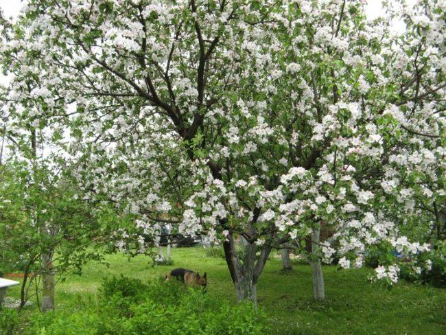 Взрослая яблоня сорта Татьяна в период обильного цветения