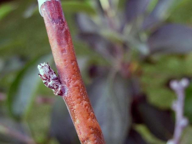 Красноватые вздутия на коре молодой ветки яблони в начальной стадии цитоспороза
