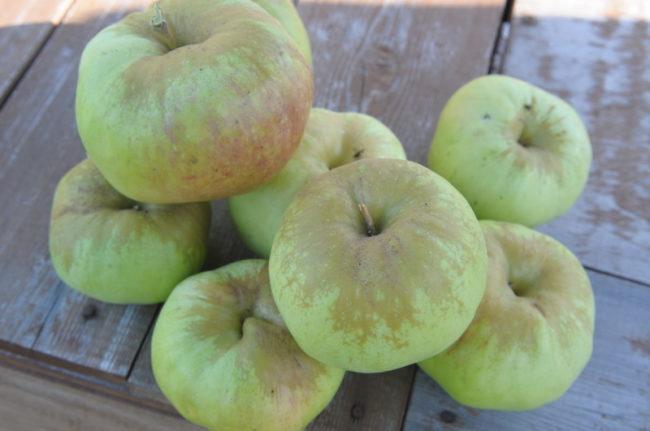 Зеленоватые с небольшим румянцем яблоки зимнего сорта Богатырь