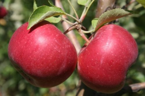 Два крупных яблока гибридного сорта Джонатан на ветке здорового дерева
