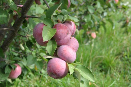 Ветка яблони сорта Лобо с плодами красно-вишневого цвета