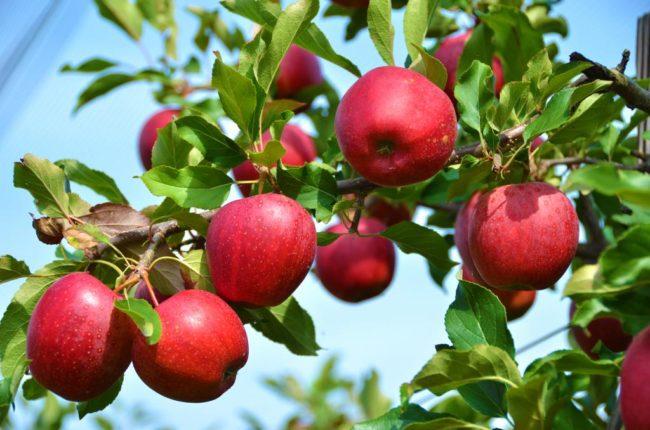 Красивые спелые яблоки на ветке взрослого дерева в конце летнего сезона
