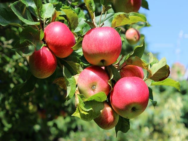 Спелые яблоки селекционного сорта Наполеон на ветке дерева