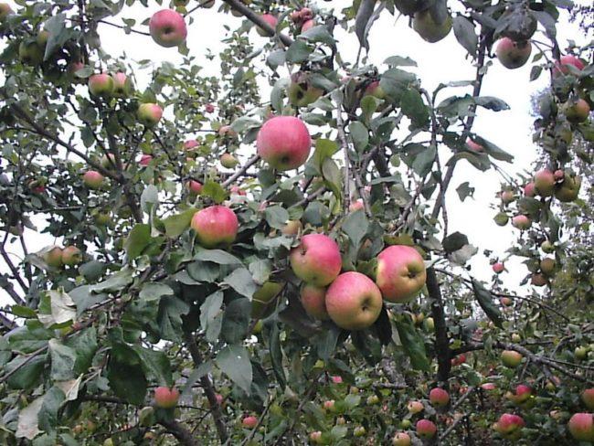 Ветки яблони народного сорта Осеннее полосатое с плодами желто-розового окраса
