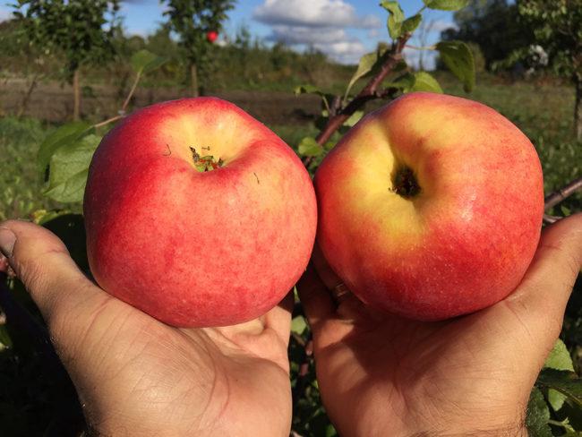 Два спелых яблока красно-желтого цвета гибридного сорта Ковровое