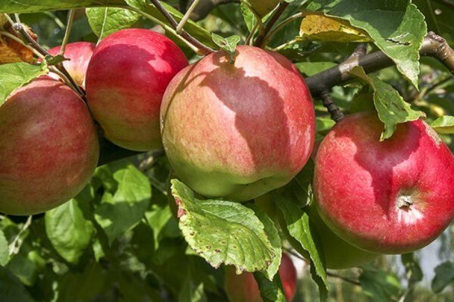 Спелые яблоки сорта Татьяна с покровным румянцем вишневого цвета
