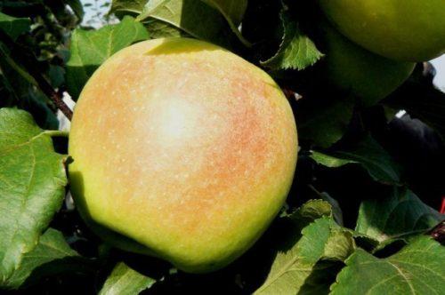Большой зеленое яблоко сорта Заря Алтая