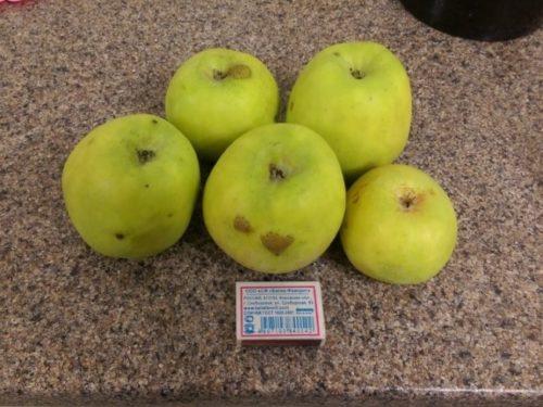 Несколько яблок популярного сорта Семеренко в сравнении с размерами спичечного коробка
