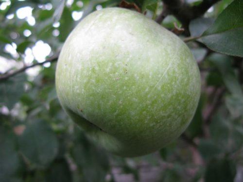 Крупное яблоко сорта Семеренко на ветке взрослого дерева