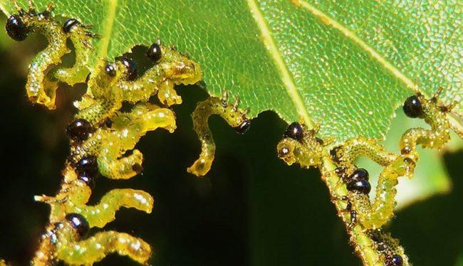 Мелкие желтые гусеницы яблоневого пилильщика на объеденном листе