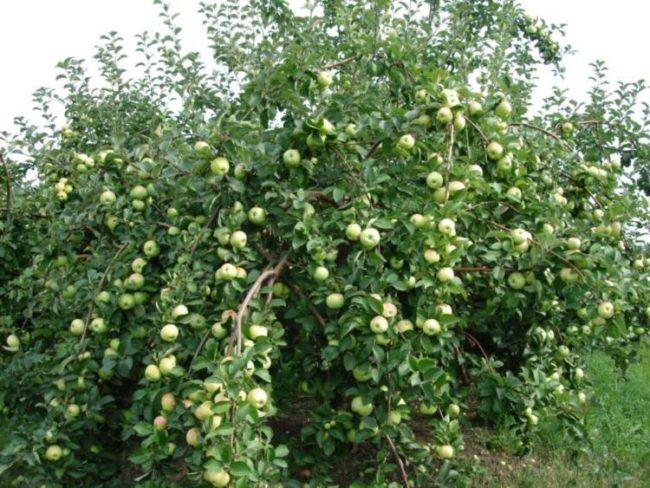 Шарообрахная крона яблони гибридного сорта Богатырь в начале плодоношения