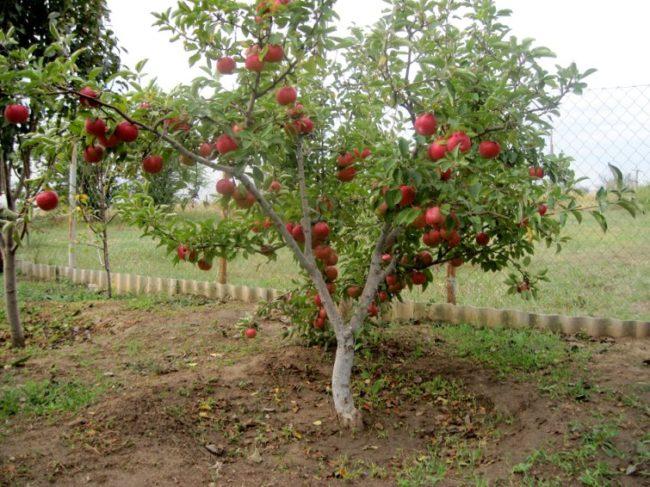 Взрослое дерево яблони полукарликового сорта с красными плодами на ветках