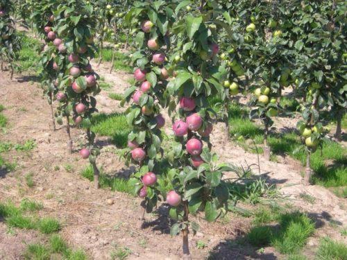Плотные ряды посадок яблонь колоновидных сортов в фермерском хозяйстве