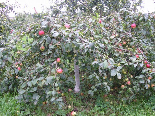 Низкая карликовая яблоня сорта Ковровое с горизонтальными ветками