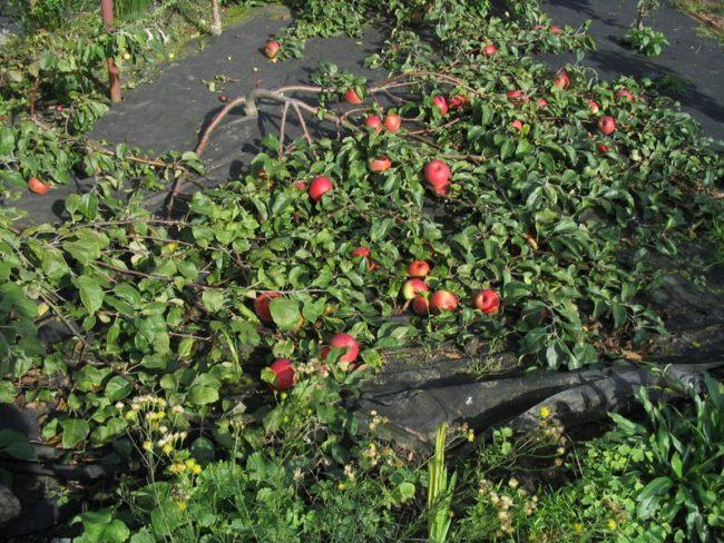 Ветки яблони гибридного сорта Ковровое вдоль поверхности земли