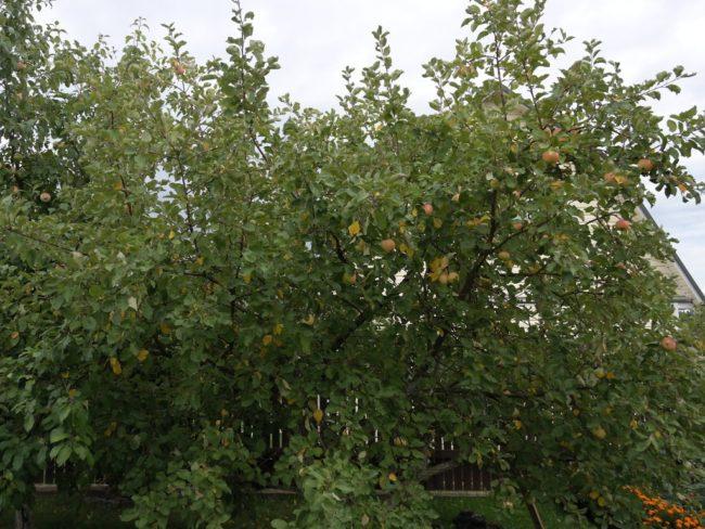 Восьмиметровая взрослая яблоня сорта Осеннее полосатое в период созревания плодов