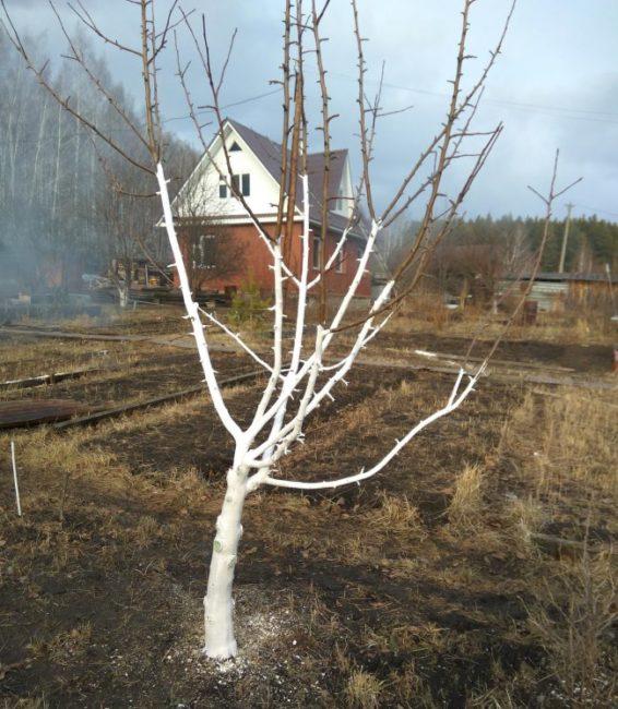 Побеленные известкой стволы яблони перед весенним цветением